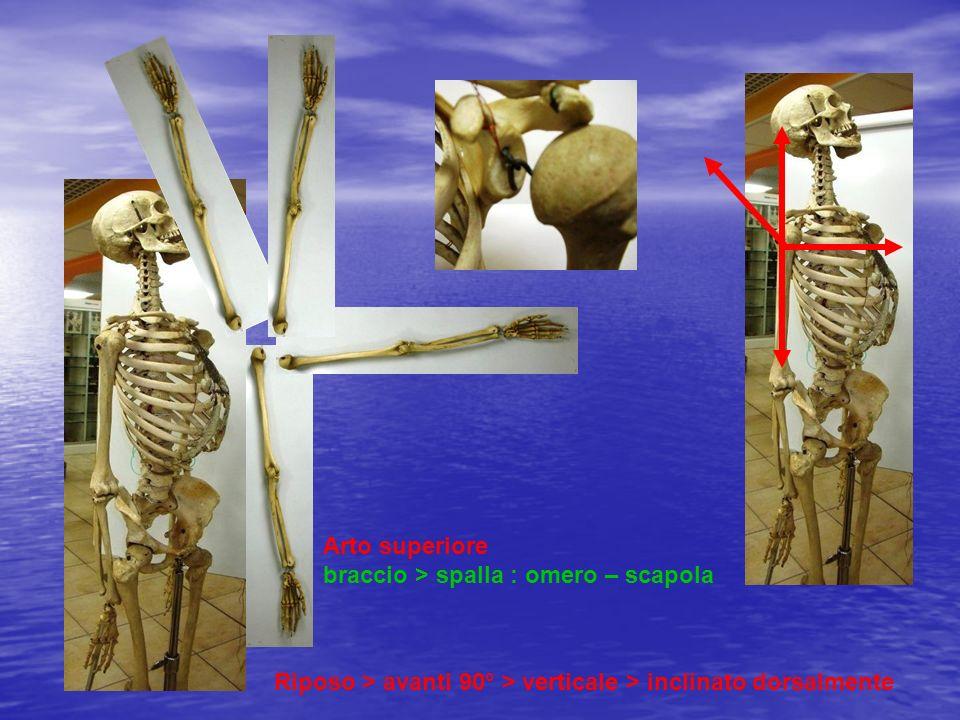 Arto superiore braccio > spalla : omero – scapola