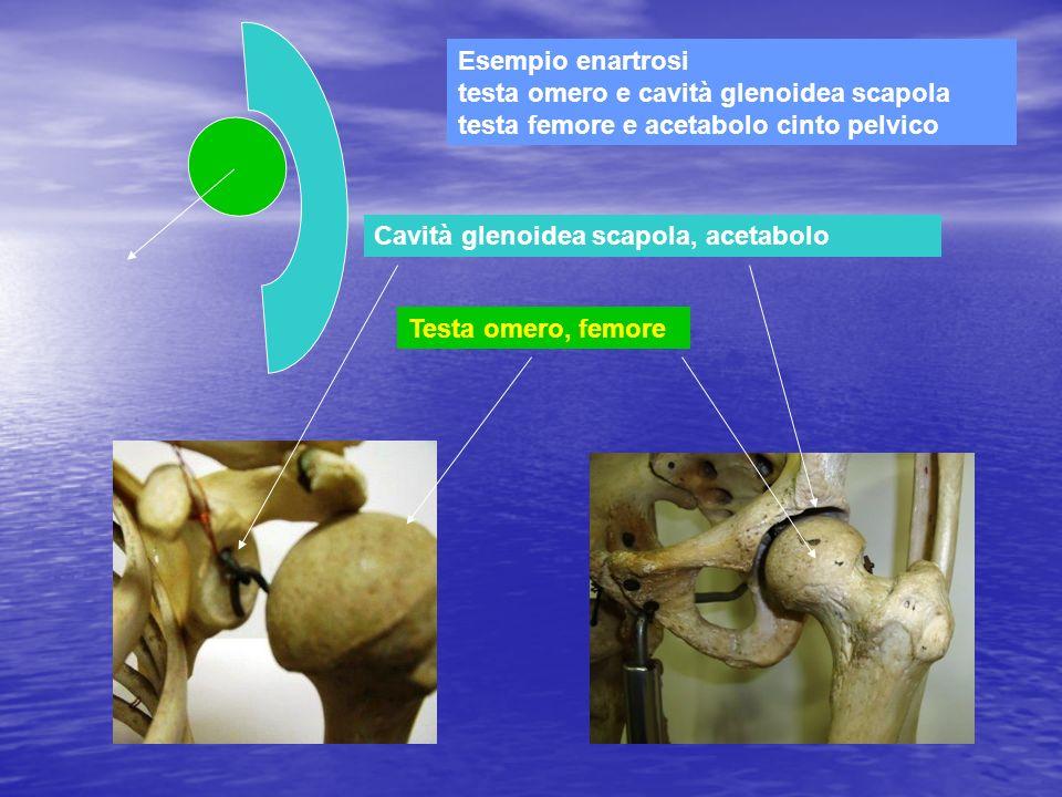 Esempio enartrosi testa omero e cavità glenoidea scapola testa femore e acetabolo cinto pelvico