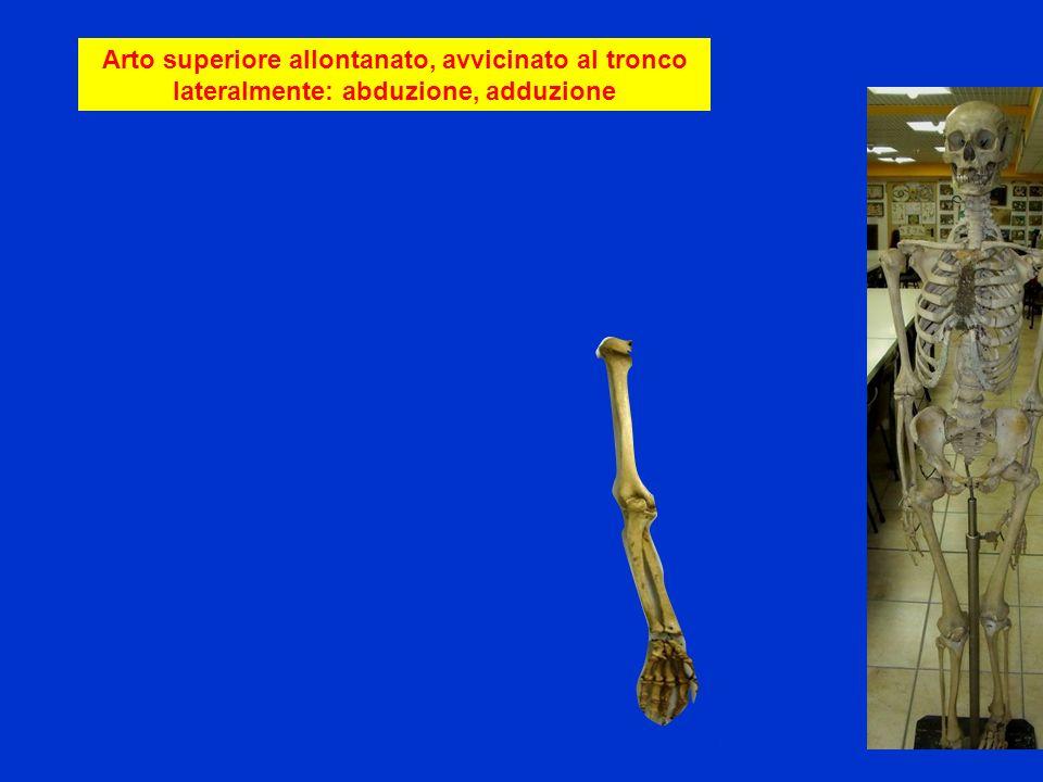 Arto superiore allontanato, avvicinato al tronco lateralmente: abduzione, adduzione