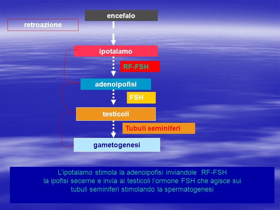 encefalo retroazione. ipotalamo. RF-FSH. adenoipofisi. FSH. testicoli. Tubuli seminiferi. gametogenesi.