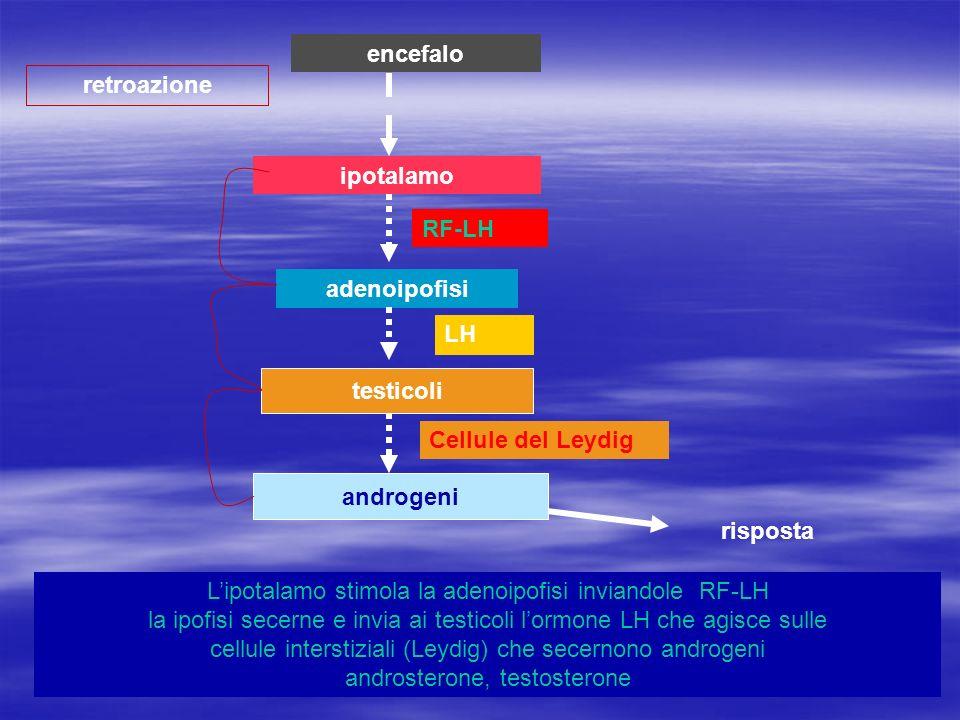 encefalo retroazione. ipotalamo. RF-LH. adenoipofisi. LH. testicoli. Cellule del Leydig. androgeni.