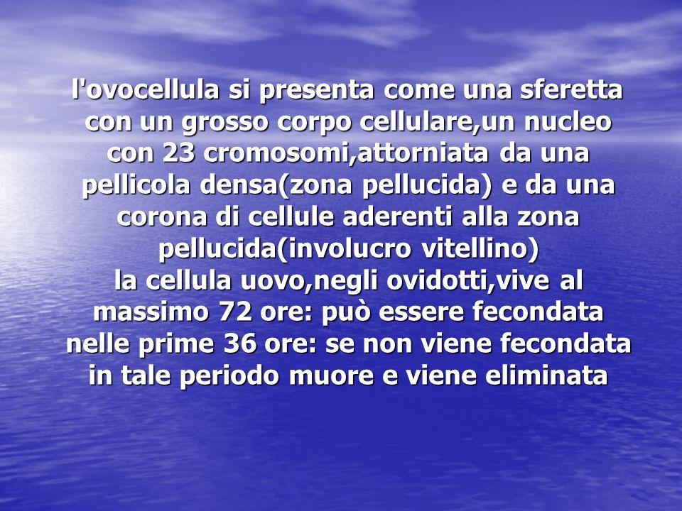 l ovocellula si presenta come una sferetta con un grosso corpo cellulare,un nucleo con 23 cromosomi,attorniata da una pellicola densa(zona pellucida) e da una corona di cellule aderenti alla zona pellucida(involucro vitellino) la cellula uovo,negli ovidotti,vive al massimo 72 ore: può essere fecondata nelle prime 36 ore: se non viene fecondata in tale periodo muore e viene eliminata