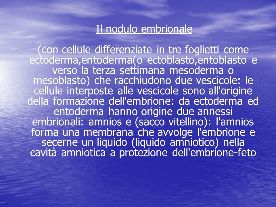 Il nodulo embrionale (con cellule differenziate in tre foglietti come ectoderma,entoderma(o ectoblasto,entoblasto e verso la terza settimana mesoderma o mesoblasto) che racchiudono due vescicole: le cellule interposte alle vescicole sono all origine della formazione dell embrione: da ectoderma ed entoderma hanno origine due annessi embrionali: amnios e (sacco vitellino): l amnios forma una membrana che avvolge l embrione e secerne un liquido (liquido amniotico) nella cavità amniotica a protezione dell embrione-feto