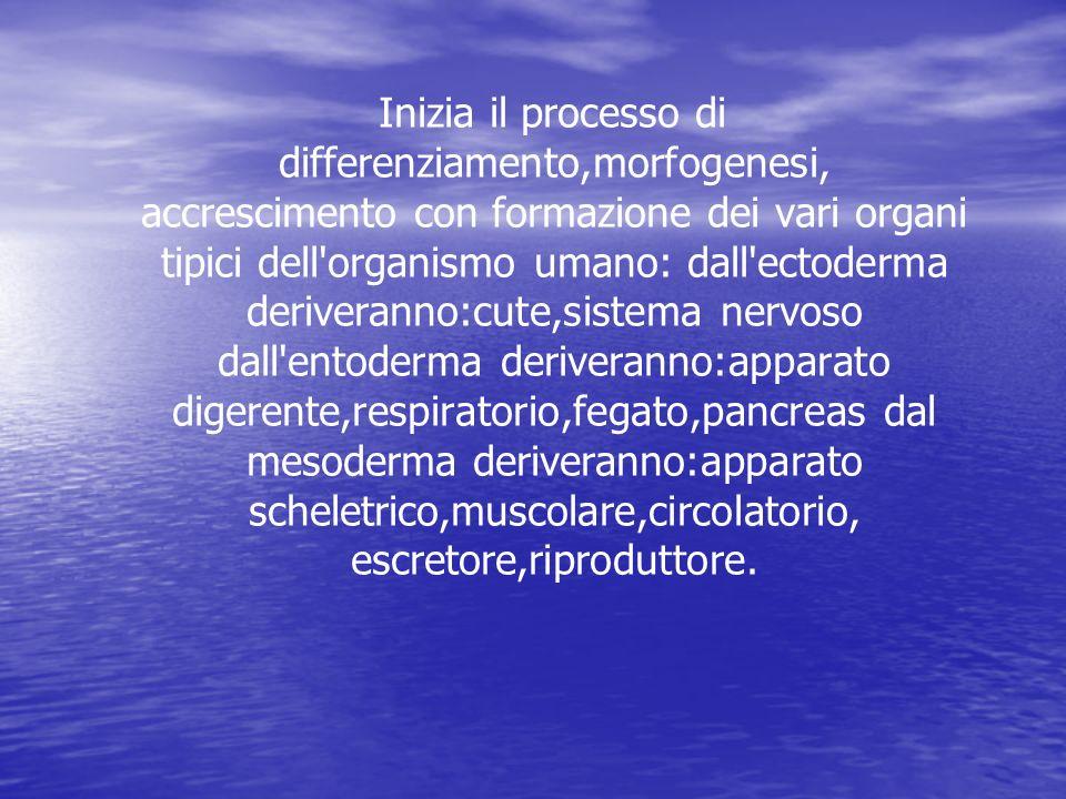 Inizia il processo di differenziamento,morfogenesi, accrescimento con formazione dei vari organi tipici dell organismo umano: dall ectoderma deriveranno:cute,sistema nervoso dall entoderma deriveranno:apparato digerente,respiratorio,fegato,pancreas dal mesoderma deriveranno:apparato scheletrico,muscolare,circolatorio, escretore,riproduttore.
