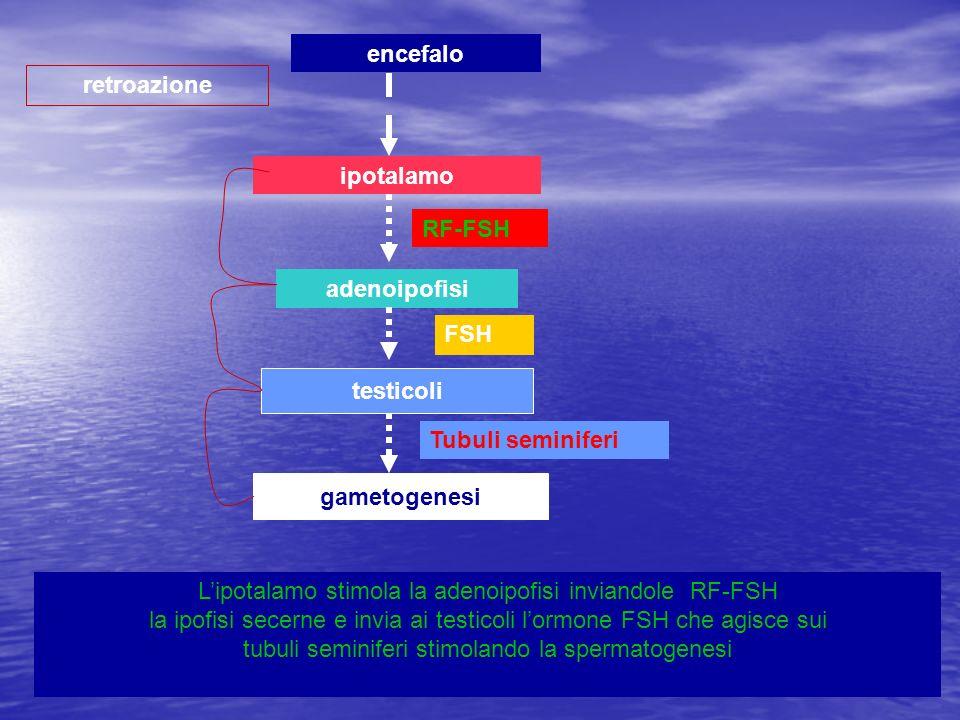encefaloretroazione. ipotalamo. RF-FSH. adenoipofisi. FSH. testicoli. Tubuli seminiferi. gametogenesi.