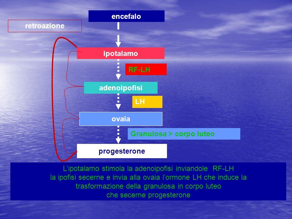 encefaloretroazione. ipotalamo. RF-LH. adenoipofisi. LH. ovaia. Granulosa > corpo luteo. progesterone.