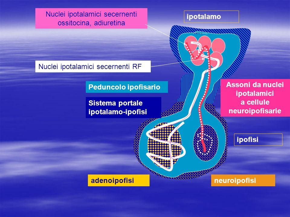 Assoni da nuclei ipotalamici a cellule neuroipofisarie