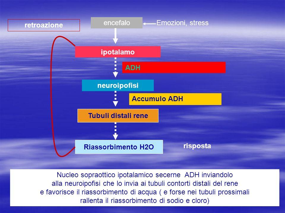 encefalo Emozioni, stress. retroazione. ipotalamo. ADH. neuroipofisi. Accumulo ADH. Tubuli distali rene.