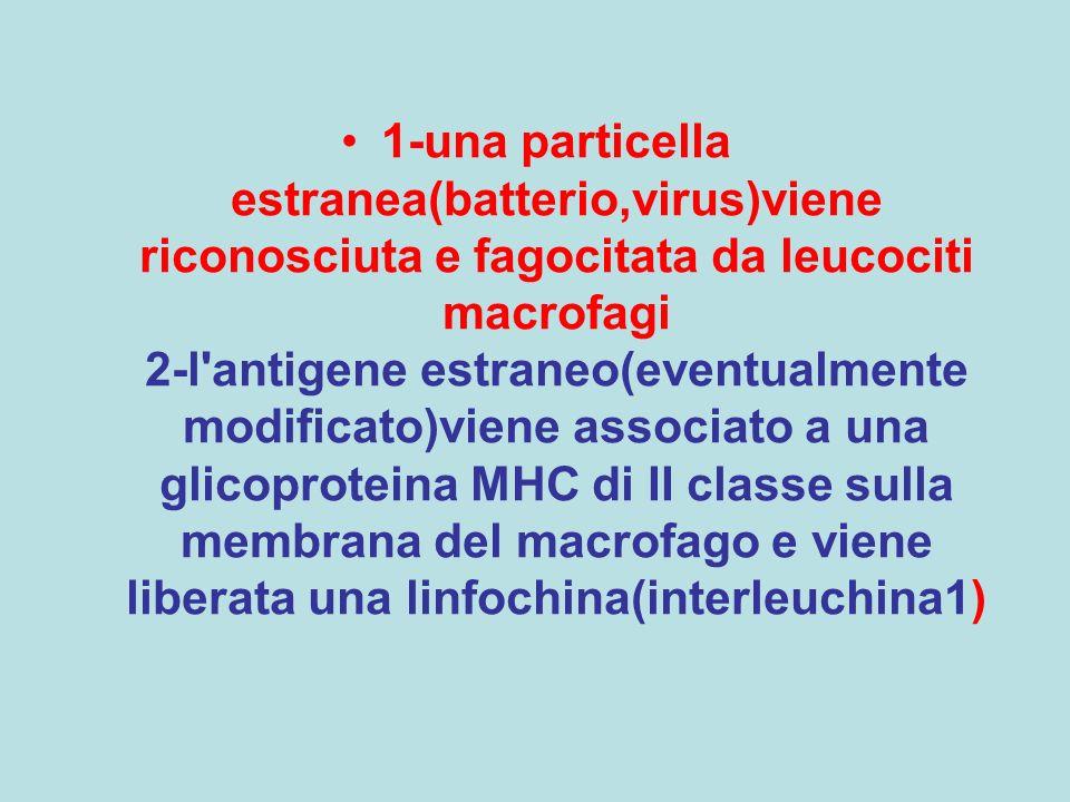 1-una particella estranea(batterio,virus)viene riconosciuta e fagocitata da leucociti macrofagi 2-l antigene estraneo(eventualmente modificato)viene associato a una glicoproteina MHC di II classe sulla membrana del macrofago e viene liberata una linfochina(interleuchina1)
