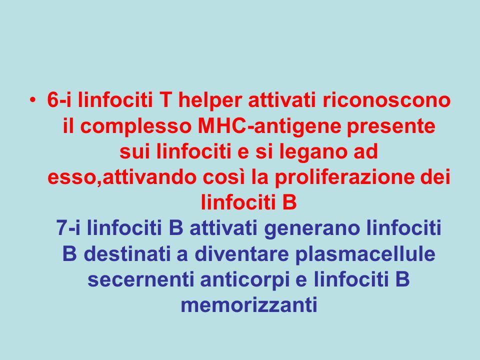 6-i linfociti T helper attivati riconoscono il complesso MHC-antigene presente sui linfociti e si legano ad esso,attivando così la proliferazione dei linfociti B 7-i linfociti B attivati generano linfociti B destinati a diventare plasmacellule secernenti anticorpi e linfociti B memorizzanti