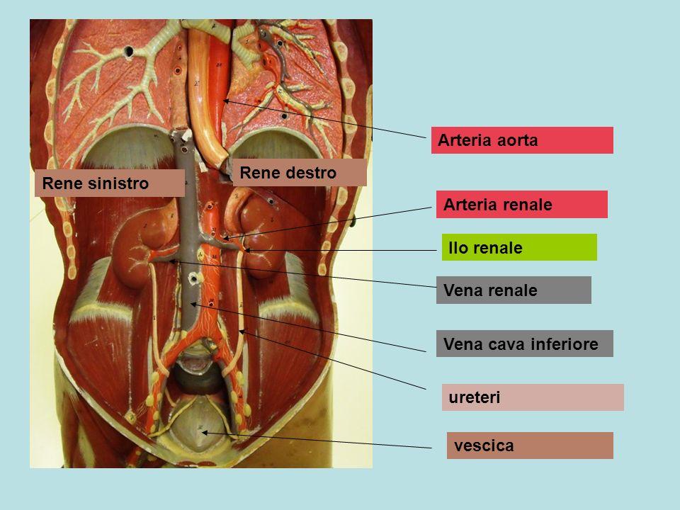 Arteria aorta Rene destro. Rene sinistro. Arteria renale. Ilo renale. Vena renale. Vena cava inferiore.