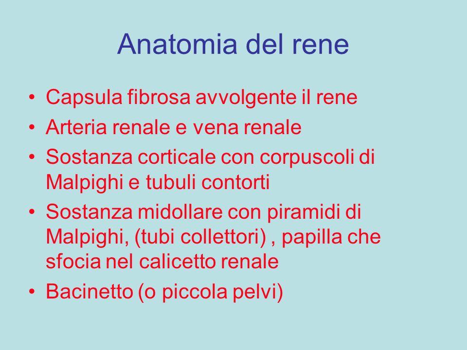 Anatomia del rene Capsula fibrosa avvolgente il rene