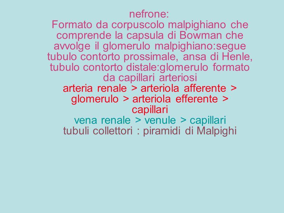 nefrone: Formato da corpuscolo malpighiano che comprende la capsula di Bowman che avvolge il glomerulo malpighiano:segue tubulo contorto prossimale, ansa di Henle, tubulo contorto distale:glomerulo formato da capillari arteriosi arteria renale > arteriola afferente > glomerulo > arteriola efferente > capillari vena renale > venule > capillari tubuli collettori : piramidi di Malpighi