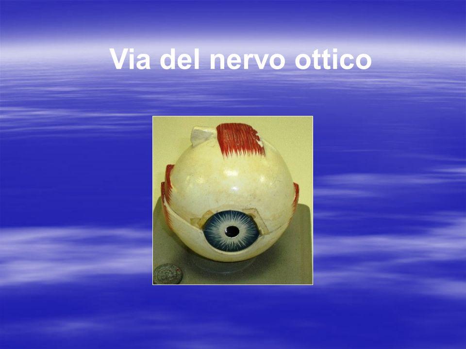 Via del nervo ottico
