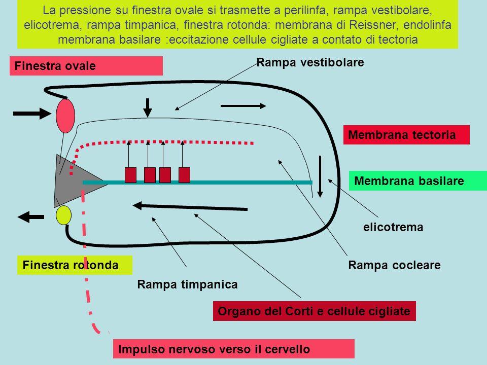 La pressione su finestra ovale si trasmette a perilinfa, rampa vestibolare, elicotrema, rampa timpanica, finestra rotonda: membrana di Reissner, endolinfa membrana basilare :eccitazione cellule cigliate a contato di tectoria