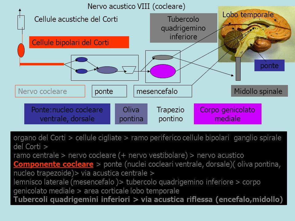 Nervo acustico VIII (cocleare) Lobo temporale