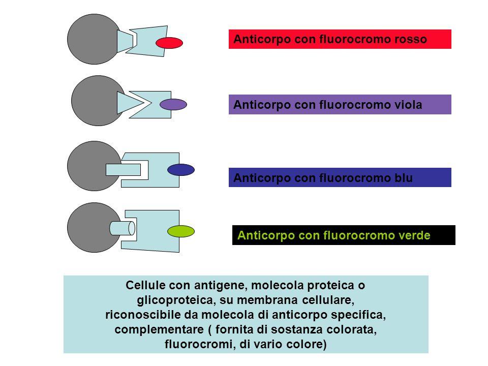 Anticorpo con fluorocromo rosso