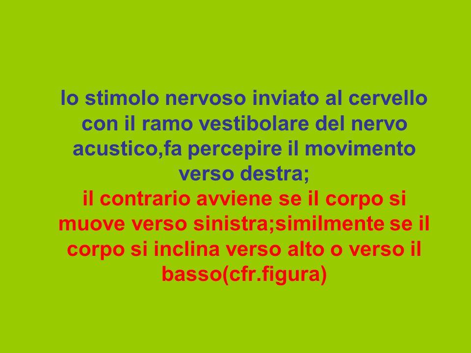 lo stimolo nervoso inviato al cervello con il ramo vestibolare del nervo acustico,fa percepire il movimento verso destra; il contrario avviene se il corpo si muove verso sinistra;similmente se il corpo si inclina verso alto o verso il basso(cfr.figura)