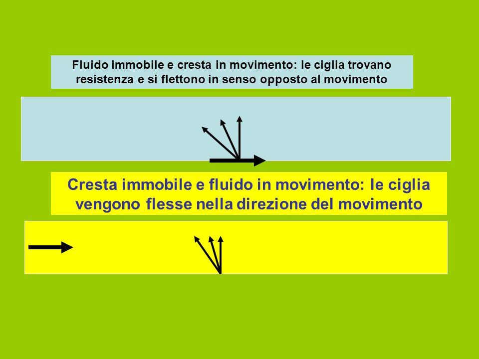 Fluido immobile e cresta in movimento: le ciglia trovano resistenza e si flettono in senso opposto al movimento
