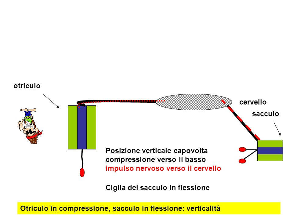otriculo cervello. sacculo. Posizione verticale capovolta compressione verso il basso impulso nervoso verso il cervello.