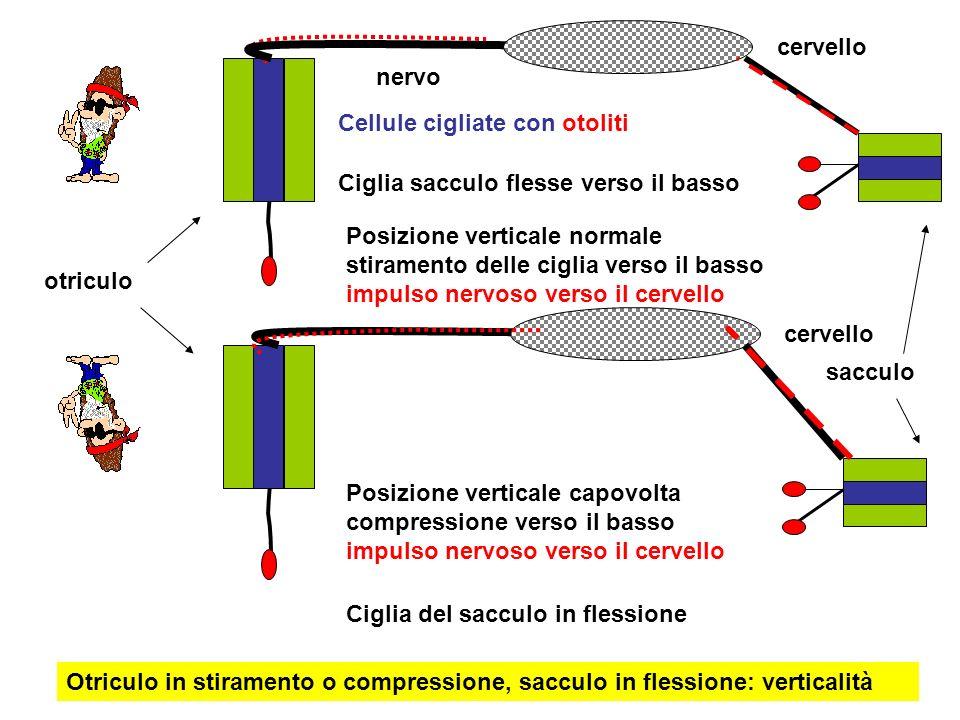 cervello nervo. Cellule cigliate con otoliti. Ciglia sacculo flesse verso il basso.