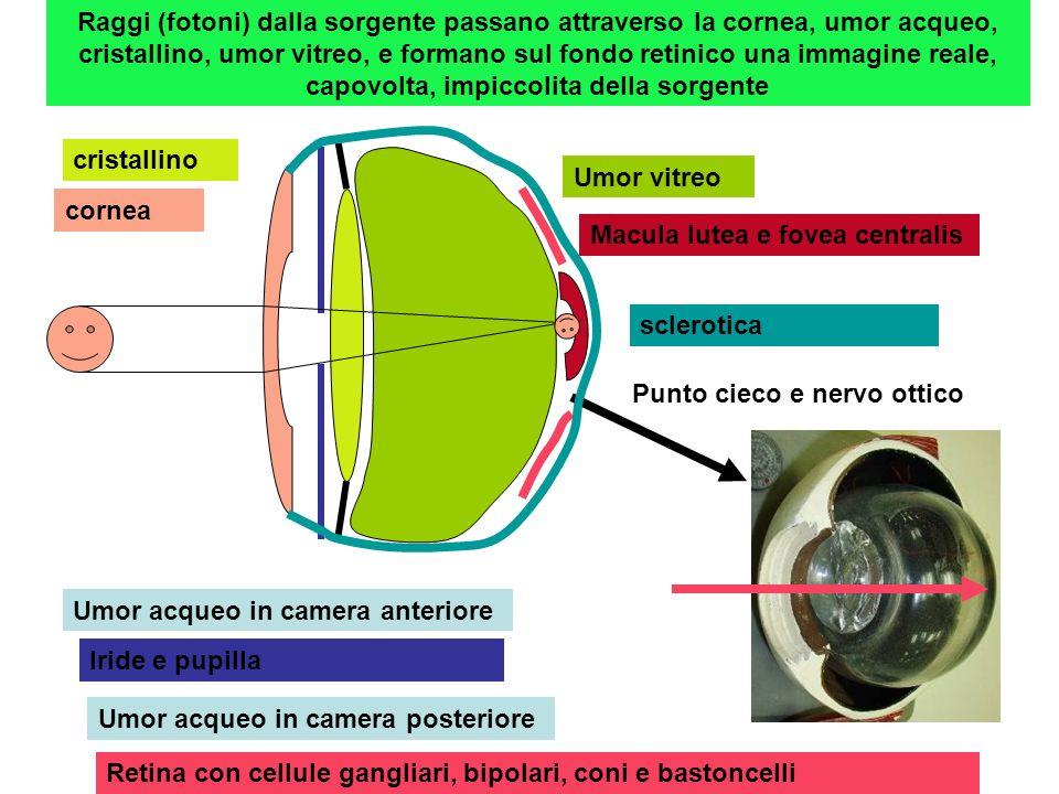 Raggi (fotoni) dalla sorgente passano attraverso la cornea, umor acqueo, cristallino, umor vitreo, e formano sul fondo retinico una immagine reale, capovolta, impiccolita della sorgente