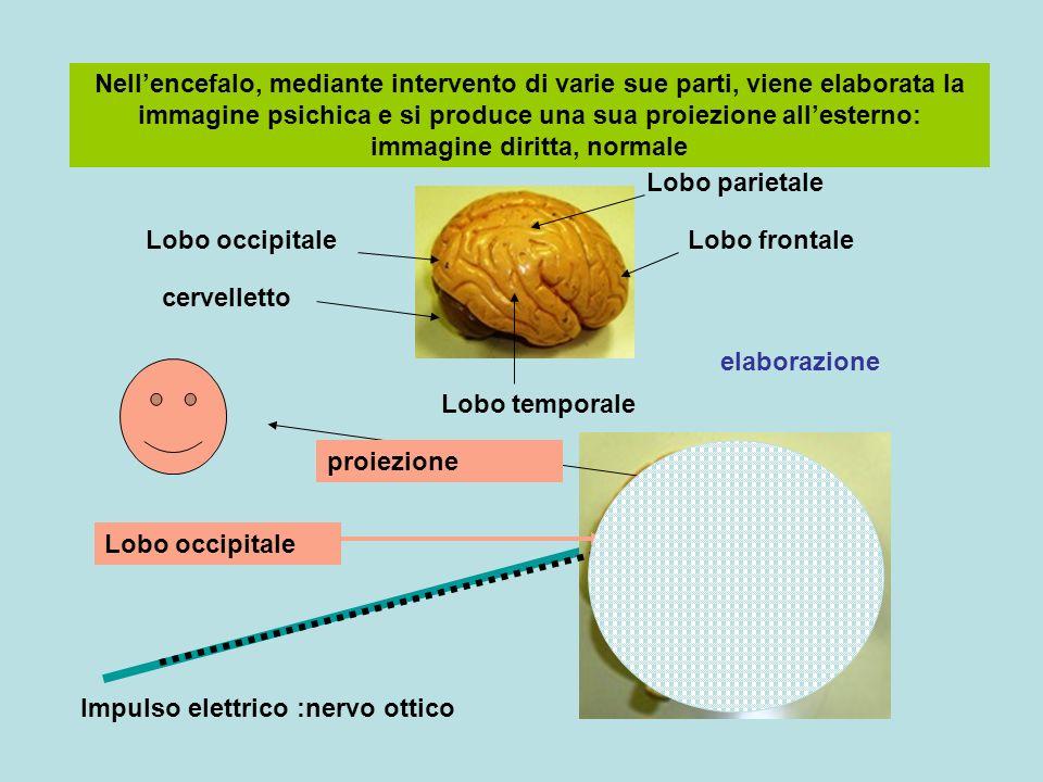 Nell'encefalo, mediante intervento di varie sue parti, viene elaborata la immagine psichica e si produce una sua proiezione all'esterno: immagine diritta, normale