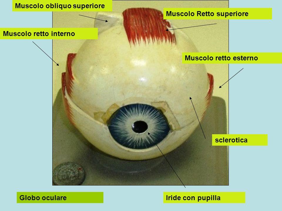 Muscolo obliquo superiore