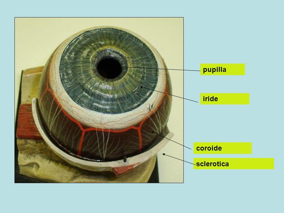 pupilla iride coroide sclerotica