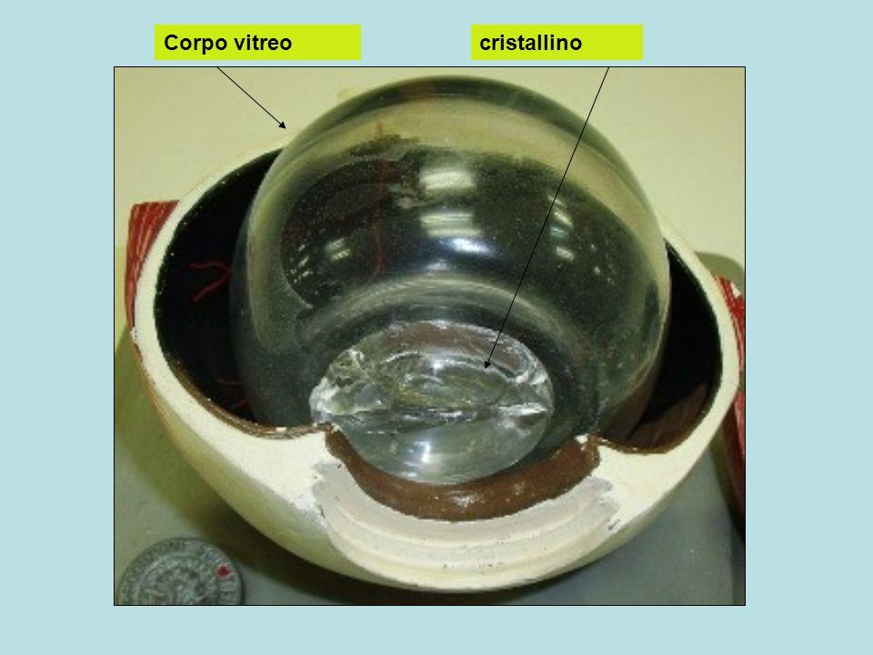 Corpo vitreo cristallino