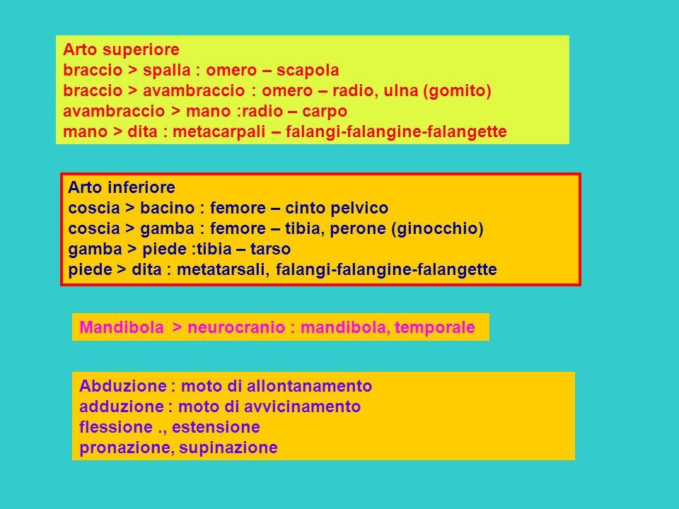 Arto superiore braccio > spalla : omero – scapola braccio > avambraccio : omero – radio, ulna (gomito) avambraccio > mano :radio – carpo mano > dita : metacarpali – falangi-falangine-falangette