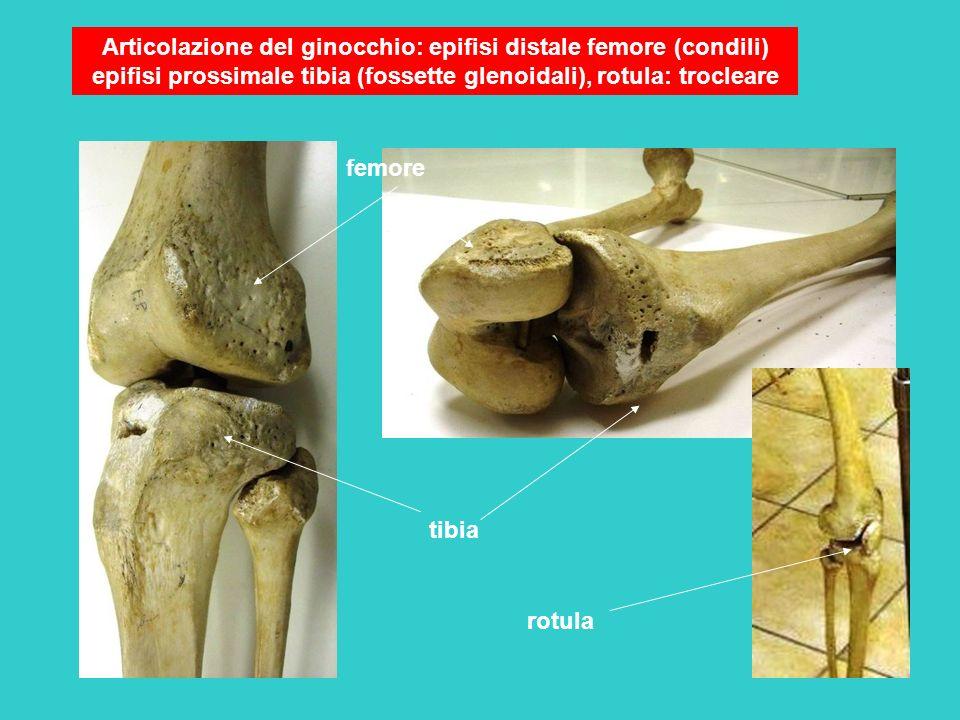 Articolazione del ginocchio: epifisi distale femore (condili) epifisi prossimale tibia (fossette glenoidali), rotula: trocleare