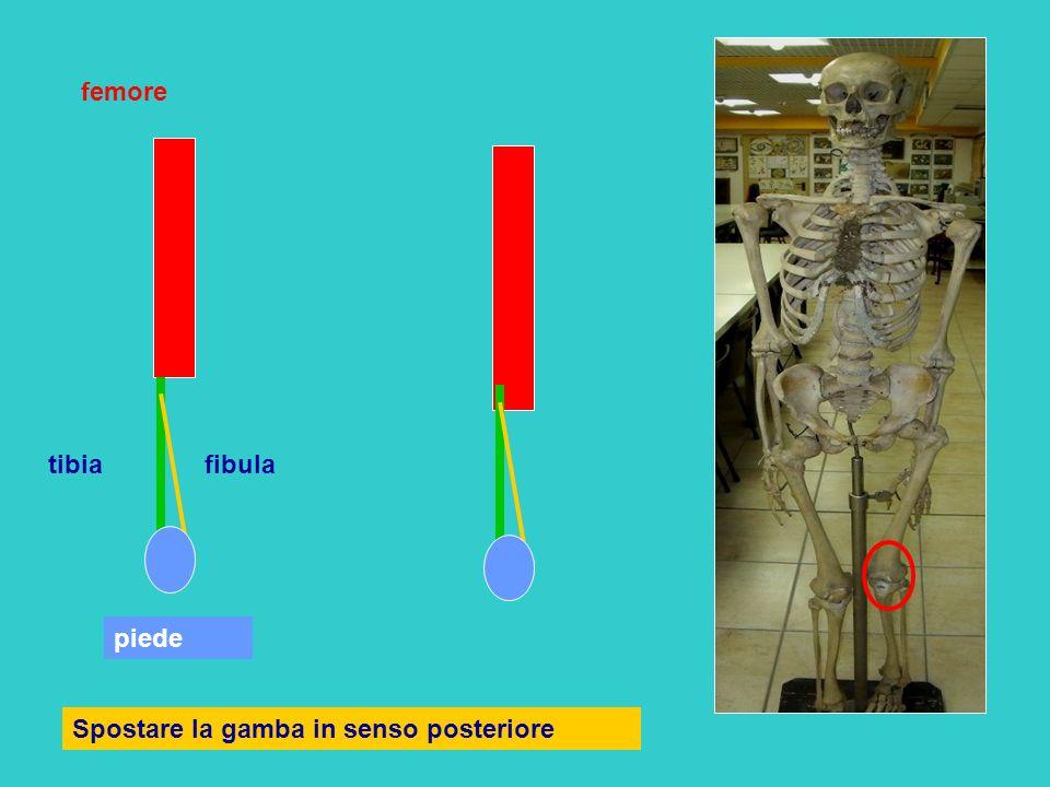 femore tibia fibula piede Spostare la gamba in senso posteriore