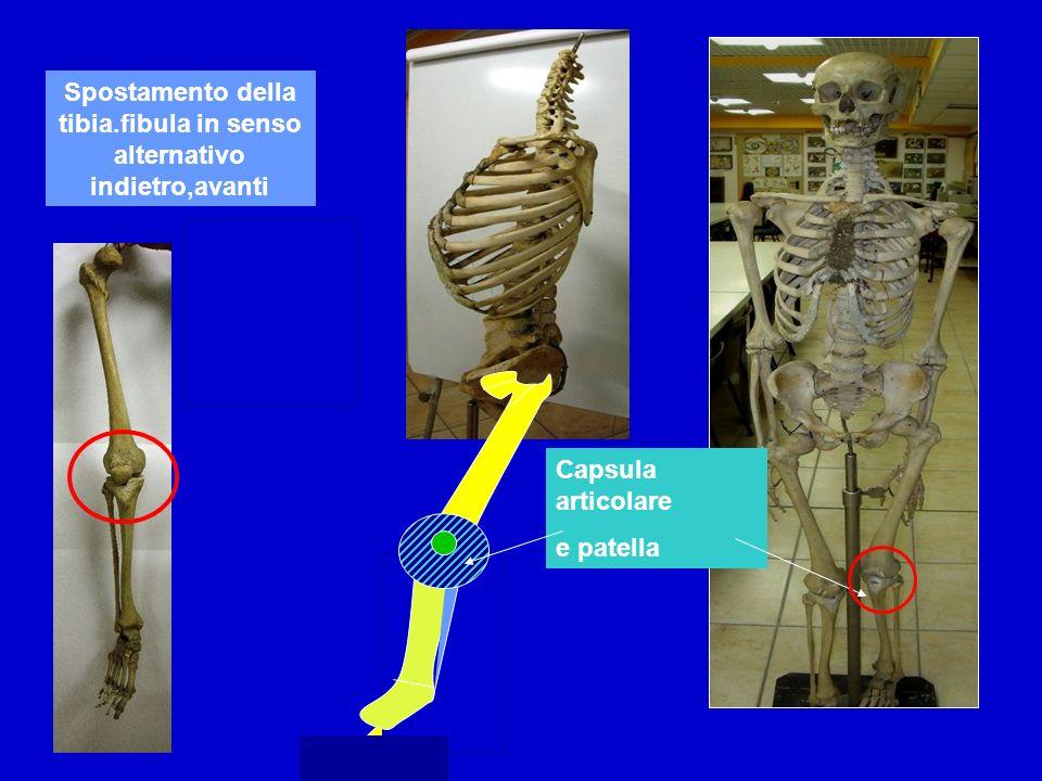 Spostamento della tibia.fibula in senso alternativo indietro,avanti