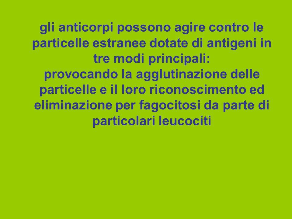 gli anticorpi possono agire contro le particelle estranee dotate di antigeni in tre modi principali: provocando la agglutinazione delle particelle e il loro riconoscimento ed eliminazione per fagocitosi da parte di particolari leucociti