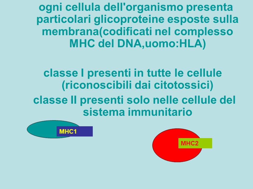 classe I presenti in tutte le cellule (riconoscibili dai citotossici)