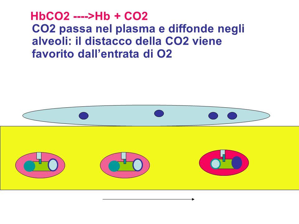 HbCO2 ---->Hb + CO2 CO2 passa nel plasma e diffonde negli alveoli: il distacco della CO2 viene favorito dall'entrata di O2