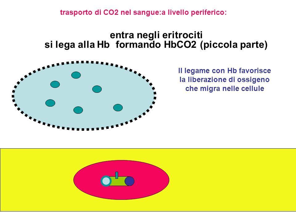entra negli eritrociti si lega alla Hb formando HbCO2 (piccola parte)