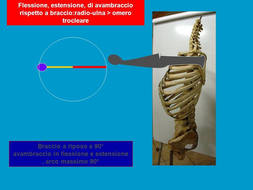 Flessione, estensione, di avambraccio rispetto a braccio:radio-ulna > omero trocleare