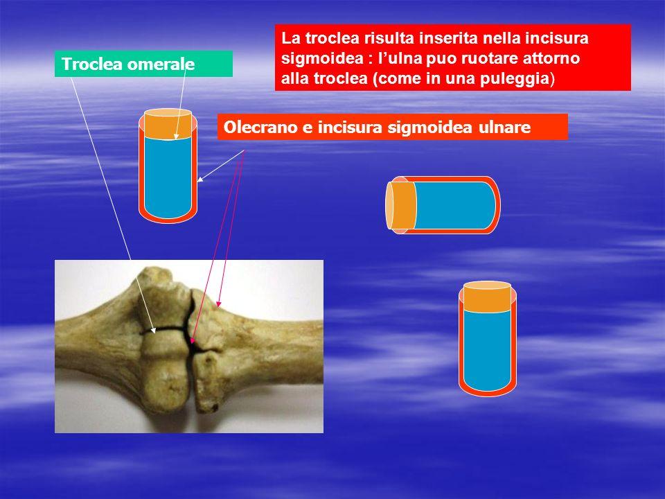 La troclea risulta inserita nella incisura sigmoidea : l'ulna puo ruotare attorno alla troclea (come in una puleggia)
