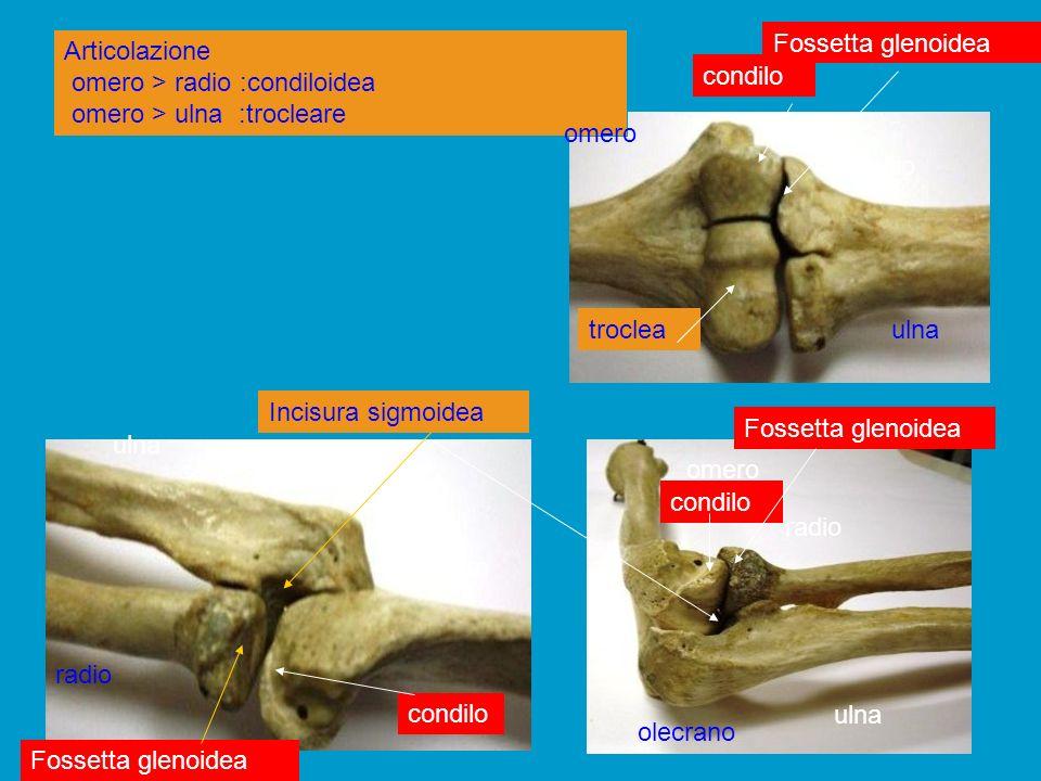 Fossetta glenoidea Articolazione omero > radio :condiloidea omero > ulna :trocleare. condilo. omero.