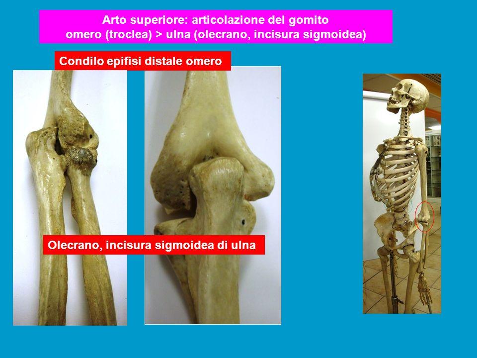 Arto superiore: articolazione del gomito omero (troclea) > ulna (olecrano, incisura sigmoidea)