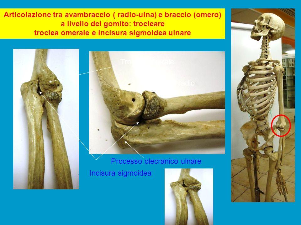 Articolazione tra avambraccio ( radio-ulna) e braccio (omero) a livello del gomito: trocleare troclea omerale e incisura sigmoidea ulnare