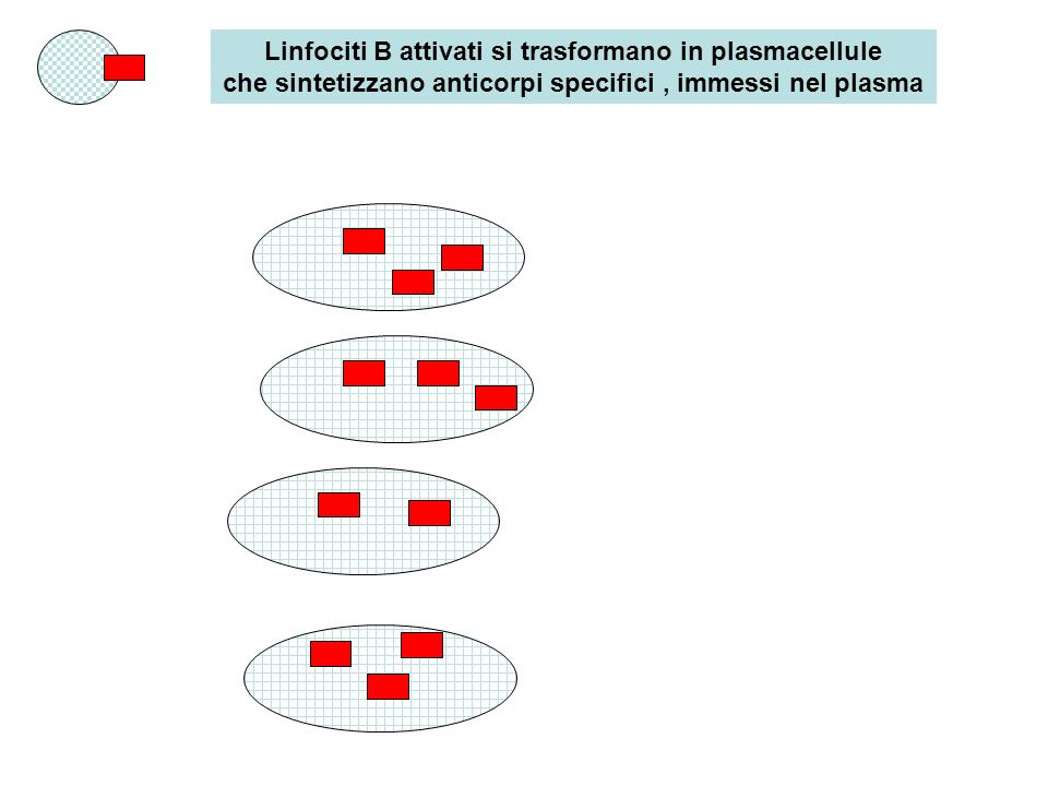 Linfociti B attivati si trasformano in plasmacellule che sintetizzano anticorpi specifici , immessi nel plasma