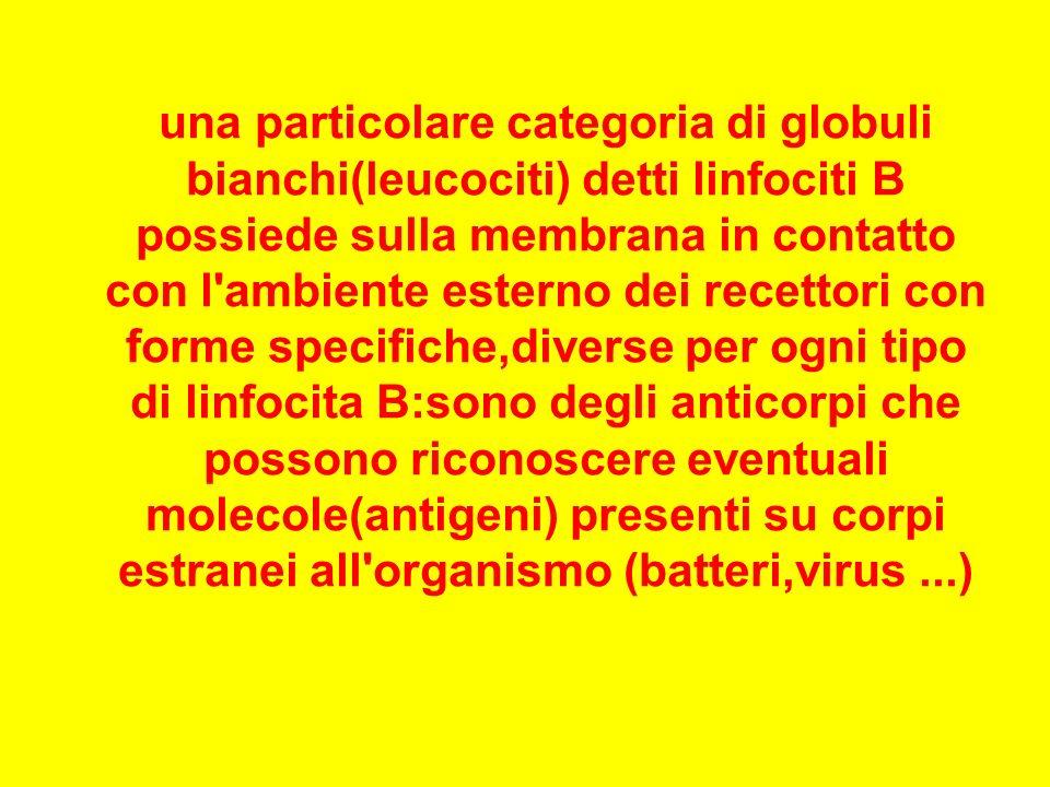 una particolare categoria di globuli bianchi(leucociti) detti linfociti B possiede sulla membrana in contatto con l ambiente esterno dei recettori con forme specifiche,diverse per ogni tipo di linfocita B:sono degli anticorpi che possono riconoscere eventuali molecole(antigeni) presenti su corpi estranei all organismo (batteri,virus ...)