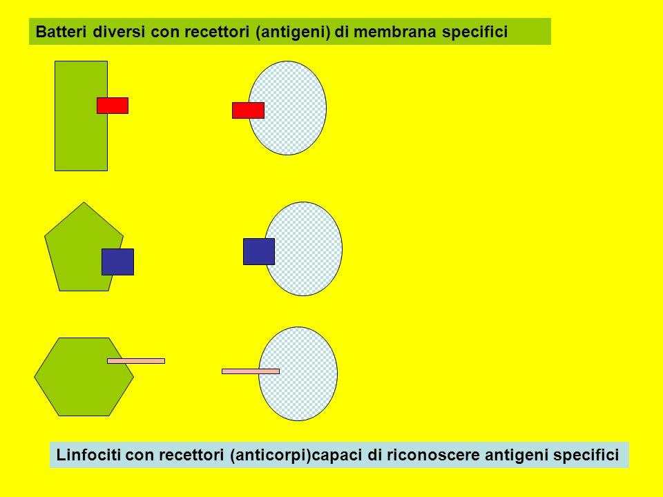 Batteri diversi con recettori (antigeni) di membrana specifici