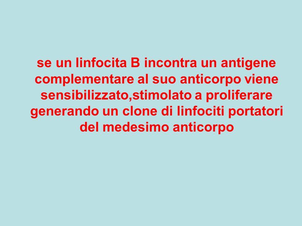 se un linfocita B incontra un antigene complementare al suo anticorpo viene sensibilizzato,stimolato a proliferare generando un clone di linfociti portatori del medesimo anticorpo