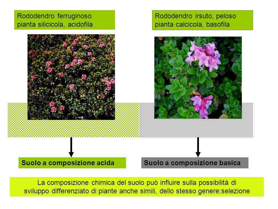 Rododendro ferruginoso pianta silicicola, acidofila