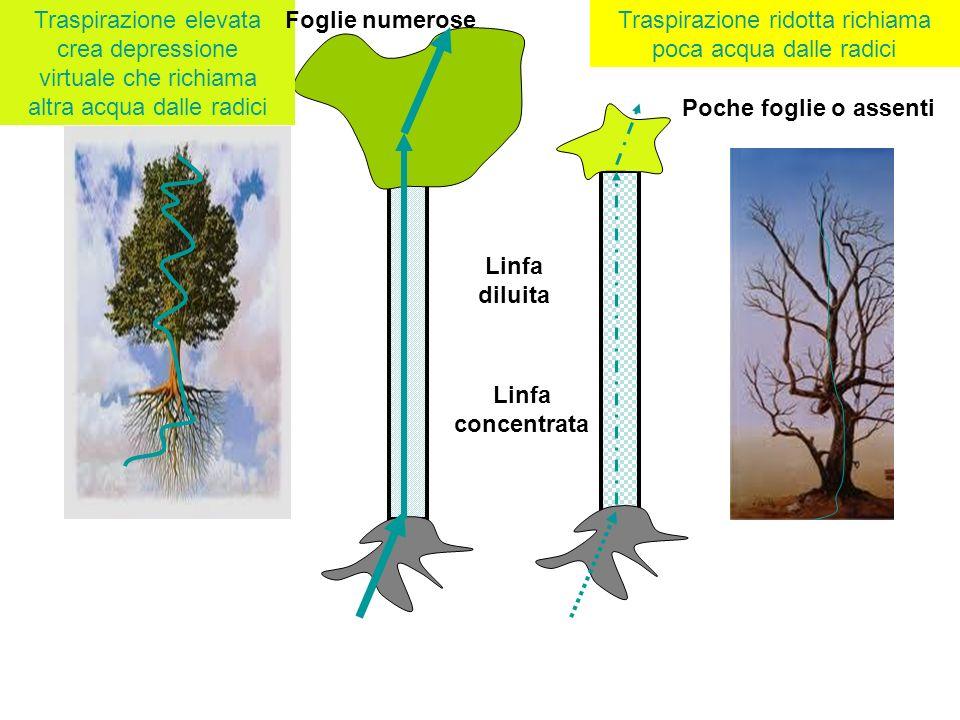 Traspirazione ridotta richiama poca acqua dalle radici