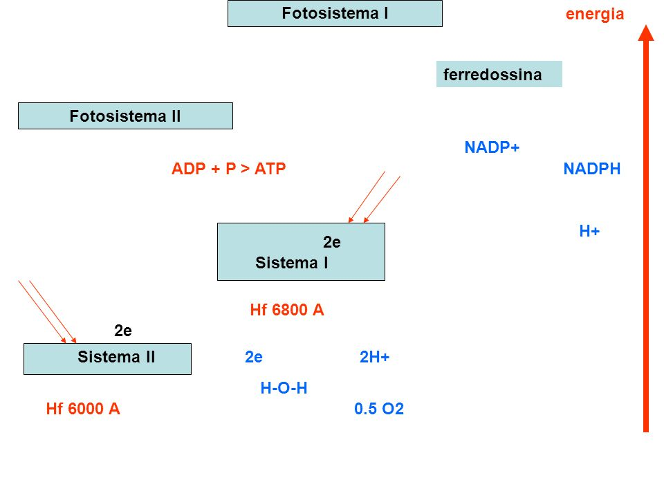 Fotosistema I energia. ferredossina. Fotosistema II. NADP+ ADP + P > ATP. NADPH. H+ 2e. Sistema I.